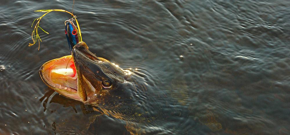 cum sa pescuiesti cu topwater